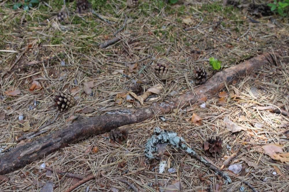 ヌークシオ国立公園のルート中にある松ぼっこり