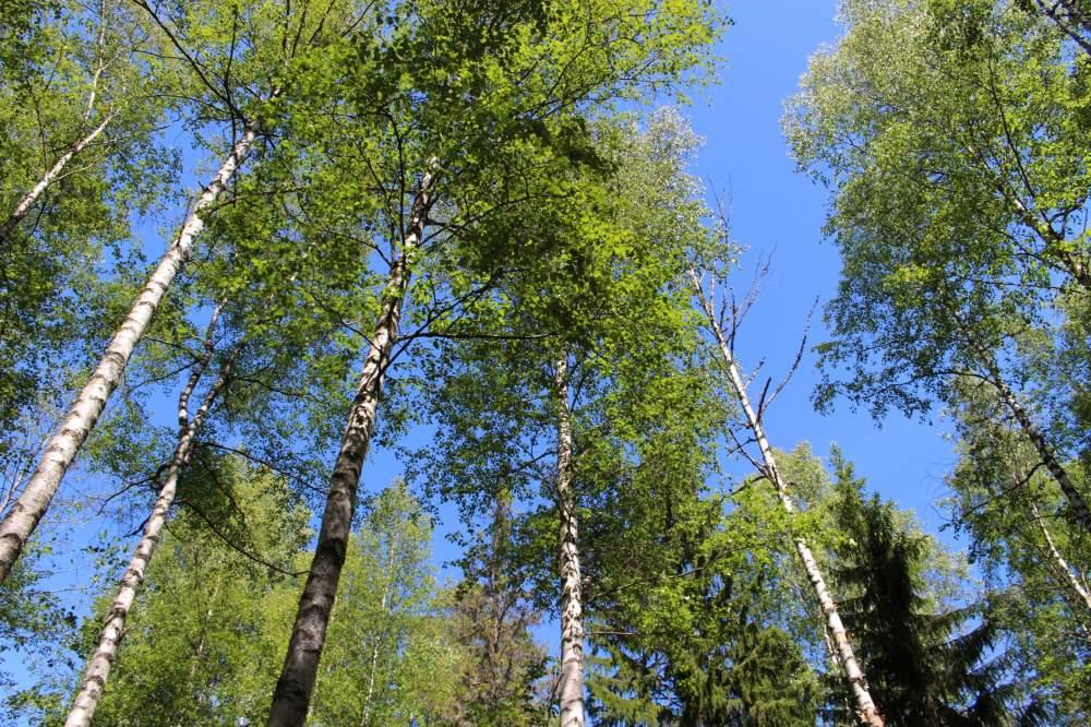 ヌークシオ国立公園の白樺の森