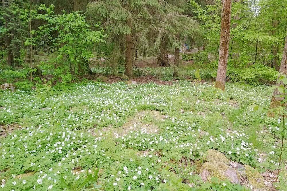 フィンランドの森・白いアネモネ